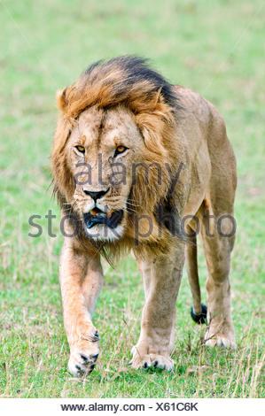 Male African lion (Panthera leo), Masai Mara Game Reserve, Kenya, East Africa - Stock Photo