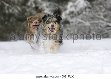 two Australian Shepherd dogs - running in the snow - Stock Photo