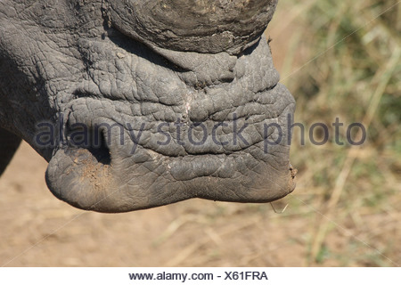 White Rhinoceros (Ceratotherium simum) adult, close-up of square lip, Hlane Game Reserve, Swaziland - Stock Photo