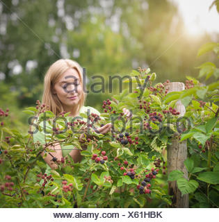 Working picking blackberries on fruit farm - Stock Photo
