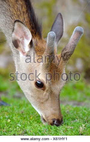 sika deer (Cervus nippon), portrait while grazing - Stock Photo