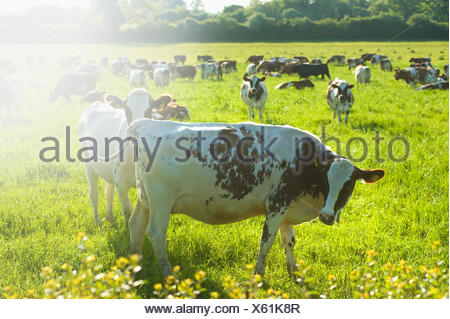 A herd of cows grazing in a field. - Stock Photo