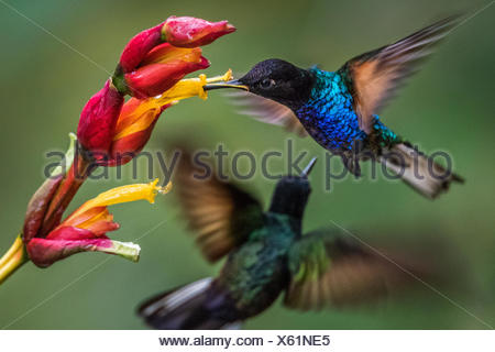 Two velvet-purple coronets, hummingbirds, Boissonneaua jardini, fight to drink from a flower. - Stock Photo