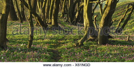 Forest with hollowroot in the spring, Germany, North Rhine-Westphalia, Troisdorf, Wahner moor, - Stock Photo