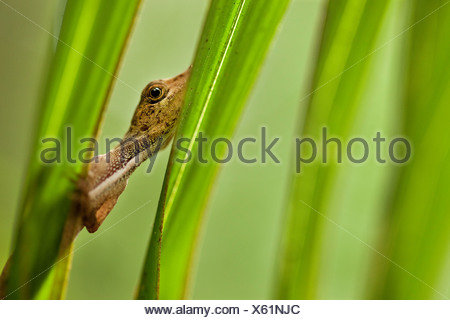 An anole watches the photographer warily from behind palm fronds in Tambopata National Preserve, Peru. (Anolis sagrei) - Stock Photo