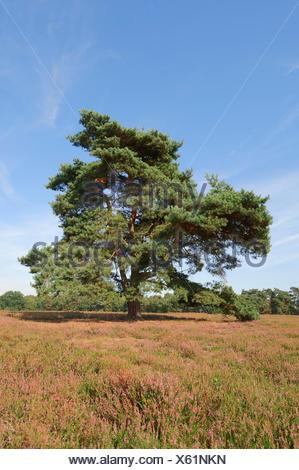 Scots Pine (Pinus sylvestris) in flowering heathland, Münsterland, Nordrhein-Westfalen, Germany - Stock Photo