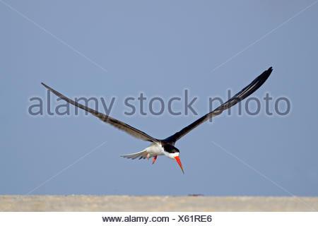 African skimmer (Rynchops flavirostris) in flight, Chobe River, Chobe National Park, Botswana - Stock Photo
