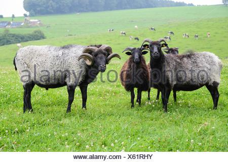 Graue Gehoernte Heidschnucke (Ovis ammon f. aries), Schafherde auf einer Weide, Deutschland | gray honed heath sheep (Ovis ammon - Stock Photo