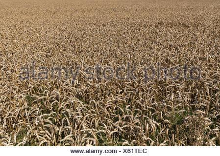 Wheat field (Triticum aestivum), Mecklenburg-Western Pomerania, Germany - Stock Photo