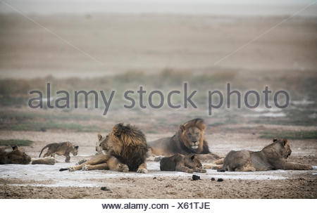 A lion pride, Panthera leo, during a sand storm. - Stock Photo