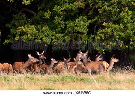 Watchful female red deers during the rut - pride of hinds at the border of a wood (Cervus elaphus) - Stock Photo