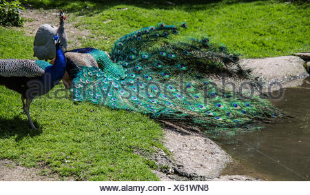 Pfau stolziert auf Wiese - Stock Photo