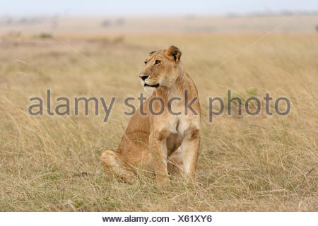 Lioness (Panthera leo) sitting in the grass, Maasai Mara National Reserve, Narok County, Kenya - Stock Photo