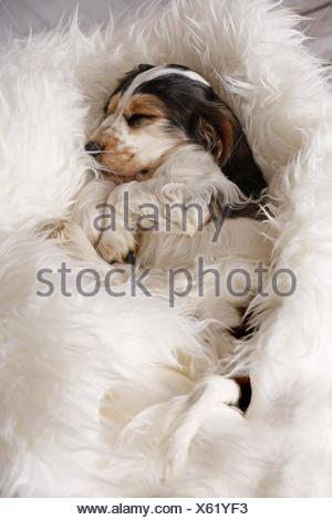 sleeping English Cocker Spaniel Puppy - Stock Photo