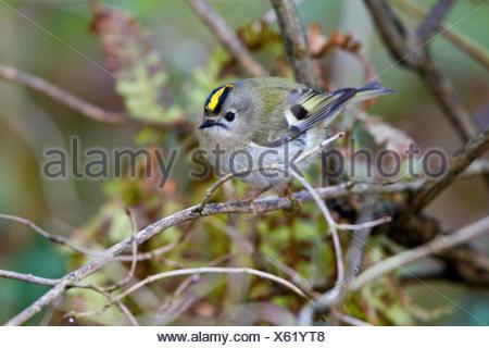 goldcrest (Regulus regulus), male on a twig, Germany, Mecklenburg-Western Pomerania - Stock Photo
