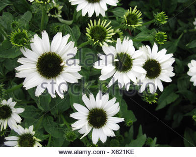 Purple Cone Flower, Eastern purple-coneflower, Echinacea purpurea Pow Wow White Rudbeckia purpurea, Brauneria purpurea blooming, cultivar - Stock Photo