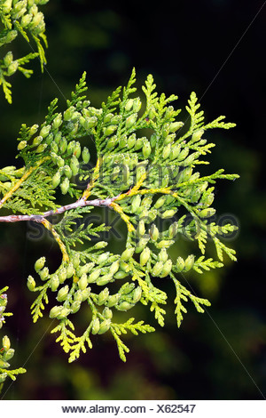 Eastern Arborvitae, Northern Whitecedar (Thuja occidentalis) branch with foliage and cones, evergreen coniferous tree - Stock Photo