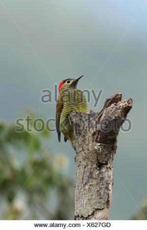 Golden-olive Woodpecker, Colaptes rubiginosus, perches on a dead tree in the montane rainforest. - Stock Photo