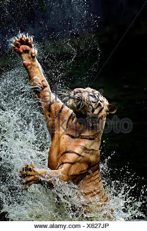 Tiger jumping in river, Ragunan, Jakarta, Indonesia Stock Photo