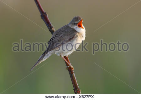 Marsh Warbler (Acrocephalus palustris) singing, perched on a branch, Dümmer Nature Park, Lower Saxony, Germany - Stock Photo