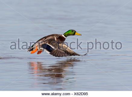 Male Mallard in flight in winter - GB - Stock Photo
