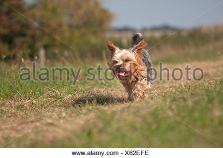 Yorkshire terrier walking in countryside (south downs, Brighton) - Stock Photo
