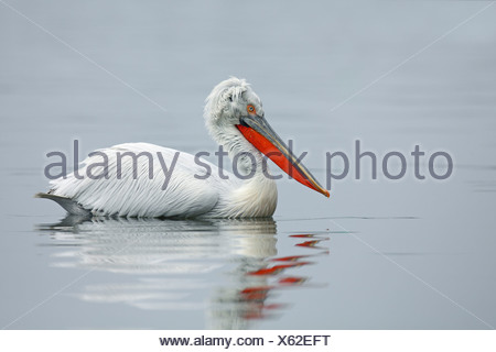 Dalmatian pelican (Pelecanus crispus), swimming, Greece, Kerkini See - Stock Photo