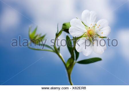 White Cinquefoil (Potentilla alba) - Stock Photo