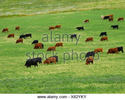 Livestock - Mixed breeds of beef steers grazing in an alfalfa field after the second cutting / Alberta, Canada. - Stock Photo
