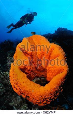 Scuba diver swims over giant elephant ear sponge, Bonaire Island, Netherlands Antilles, Caribbean - Stock Photo