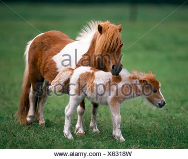 mini shetland pony with foal on meadow - Stock Photo