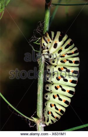 zoology / animals, insect, butterflies, Swallowtail, (Papilio machaon), development: caterpillar at stem, distribution: Northern
