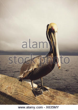 Pelican standing on pier - Stock Photo
