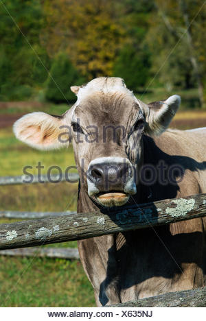 Brown Swiss Cow - Stock Photo