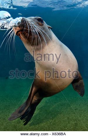 California sea lion (Zalophus californianus), Zoo Karlsruhe, Germany - Stock Photo