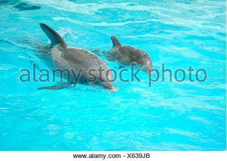 Young common bottlenose dolphin with its mother in a zoo - Stock Photo