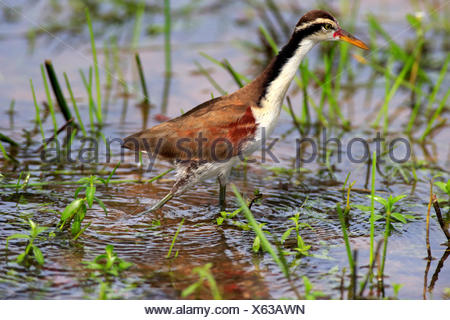 Wattled Jacana, subadult searching for food in water, Pantanal, Mato Grosso, Brazil, South America / (Jacana jacana) - Stock Photo