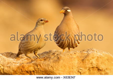 Pair Sand Partridges - Stock Photo