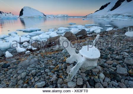Vertebrae of a large whale on the stony shore, Rongé Island, Errera Channel, Arctowski Peninsula, Antarctic Peninsula - Stock Photo