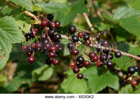 Black currants Ribes nigrum ripening on the bush - Stock Photo