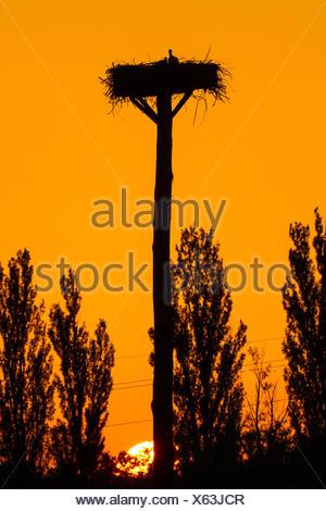 white stork (Ciconia ciconia), stork nest at dawn, Switzerland, Sankt Gallen - Stock Photo