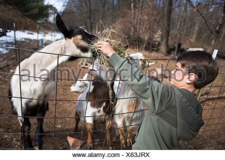 Boy feeding goats over fence - Stock Photo