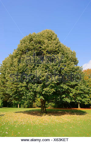 Large-leaved Lime (Tilia platyphyllos) in autumn, North Rhine-Westphalia, Germany - Stock Photo