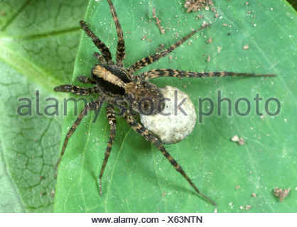 Wolf spider, Pardosa sp., female with egg mass - Stock Photo