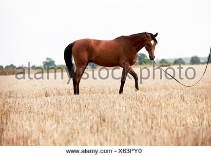 A bright bay Arabian horse standing in a stubble field - Stock Photo