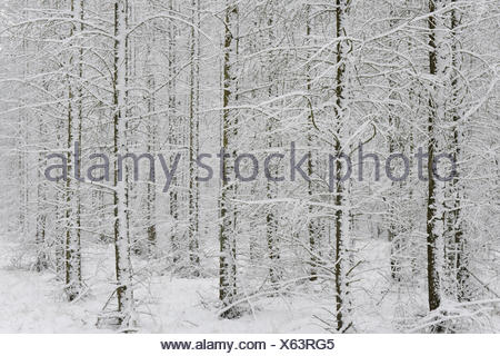 Snow-covered European Larch trees (Larix decidua), Emsland, Lower Saxony, Germany - Stock Photo