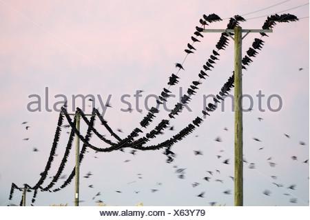 Rooks Corvus frugilegus arriving at roost Buckenham Norfolk winter - Stock Photo