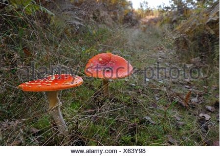Amanita muscaria, commonly known as the fly agaric or fly amanita, Forest of Rambouillet, Haute Vallee de Chevreuse Regional Natural Park, Yvelines - Stock Photo
