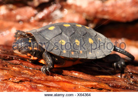 Baby Spotted Turtle (clemmys guttata) - Stock Photo