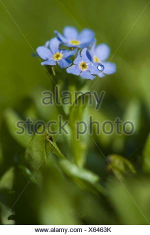 rehsteiners forget-me-not, myosotis rehsteineri - Stock Photo
